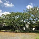 裏庭・駐車場(桜3本、隣家にも1本)