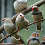 Canary birds & zebra  Finch