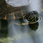 Tortues d'eau douce