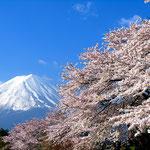 春の桜と富士山《クリックで拡大》