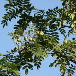24.07.2019 Auch der Speierling zeigt seine Früchte.