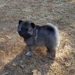 Wolfsspitz Welpen von der Roemerroute J-Wurf Rüde