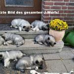 Wolfsspitz Babies J-Wurf von der Römerroute