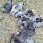 Wolfsspitz Welpen von der Roemerroute J-Wurf