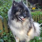 Wolfsspitz Bonny-Bijou von der Römerroute Wolfsspitzdame