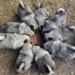 Wolfsspitz Welpen von der Roemerroute J-Wurf Mitte September 2016