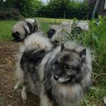 Wolfsspitz Bonny-Bijou von der Römerroute mit gesamten Rudel
