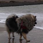 Wolfsspitz Hündin INARA von der Römerroute am Strand