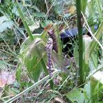 Frisch geschlüpfte Blaugrünee Mosaikjungfer mit Exuvie