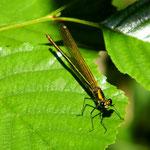 Gebänderte Prachtlibelle, Weibchen - Froschkanzelsee bei Lorsch (Seeho)