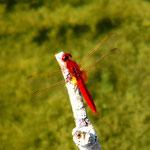 Feuerlibelle, Männchen - Froschkanzelsee bei Lorsch-Seehof