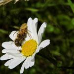 Krabbenspinne frisst Biene