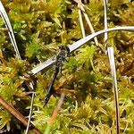Schwarze Heidelibelle, Männchen - Seen bei Breitenbuch