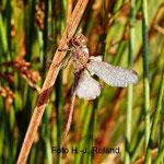Südliche Heidelibelle im Morgentau