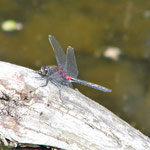Kleine Moosjungfer, Männchen - Waldtümpel im Mossautal