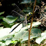 Blaugrüne Mosaikjungfer, Männchen - Froschkanzelsee