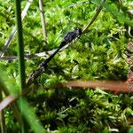 Schwarze Heidelibellen, Tandem - Seen bei Breitenbuch