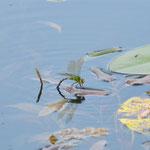 Große Königslibelle, Weibchen - Eiablage