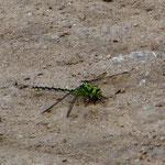 Grüne Flussjungfer, Weibchen