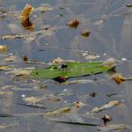 Zierliche Moosjungfer - Männchen (vom Aussterben bedroht!)