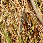 Herbst-Mosaikjungfer, Männchen