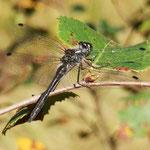 Schwarze Heidelibelle, altes Männchen - Olfener Moor