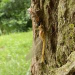 Gemeine Heidelibelle, frisch geschlüpft - Niederwaldsee