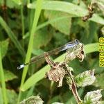 Große Pechlibelle, Männchen - Marbach-Stausee