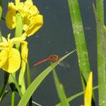 Frühe Heidelibelle, Männchen - Waldsee bei Viernheim
