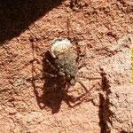 Wolfsspinne mit jungen Spinnen, die gerade aus dem Kokon schlüpfen