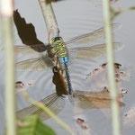 Große Königslibelle, Weibchen bei der Eiablage