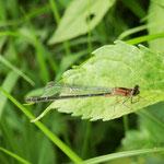 Große Pechlibelle, Weibchen - Niederwaldsee
