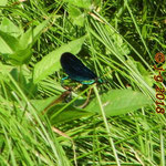 Blauflügel-Prachtlibelle, Paarungsrad - Euterbach