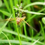 Spitzenfleck, Weibchen - Bruchsee bei Heppenheim