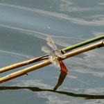 Kleine Königslibelle, Männchen - Froschkanzelsee