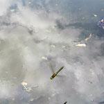 Falkenlibelle, Weibchen bei Eiablage - Teich an der Weschnitzquelle