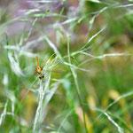 Schwarze Heidelibelle, Weibchen - Seen nahe Breitenbuch (BY)