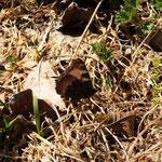Kleiner Fuchs - Flügelunterseite
