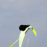 Blauflügel-Prachtlibelle, Männchen - BadKönig, Kurpark-Teiche