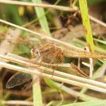 Feuerlibelle, Weibchen - Lorsch, Abflussgraben