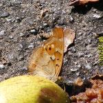 Kleiner Schillerfalter, Flügelunterseite (Rotschillerform)