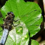 Spitzenfleck, Männchen - Niederwaldsee bei Rodau