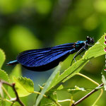 Blauflügel-Prachtlibelle, Männchen