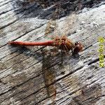 Gemeine Heidelibelle Männchen - NSG Biedensand