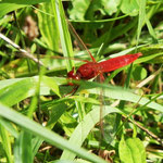 Feuerlibelle, Männchen - Niederwaldsee