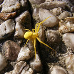 Veränderliche Krabbenspinne - gelb