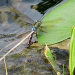Große Königslibelle, Weibchen bei der Eiablage - Waldsee bei Viernheim