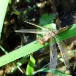 Spitzenfleck, Weibchen - Froschkanzelsee bei Lorsch