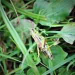 Sumpfschrecke, weiblich