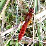 Feuerlibelle, Männchen - Waldsee bei Viernheim